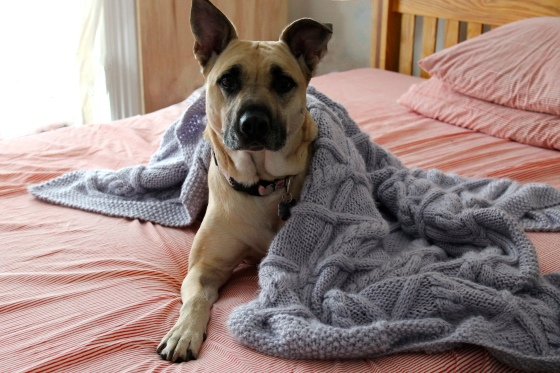 Lavender knit blanket with cables wrapped around dog